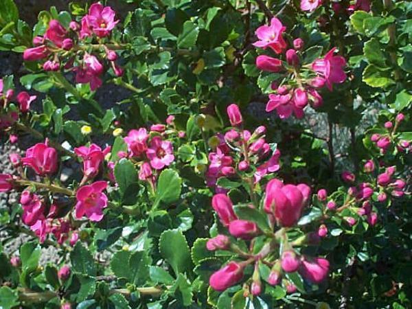 Escalonia macrantha
