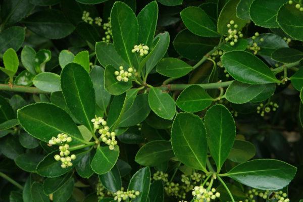 Euonymus-japonicus