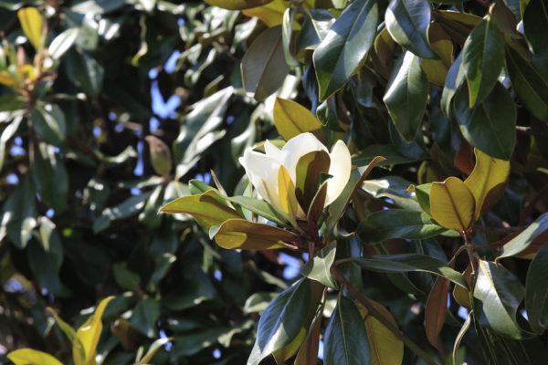 Evergreen-Magnolia-
