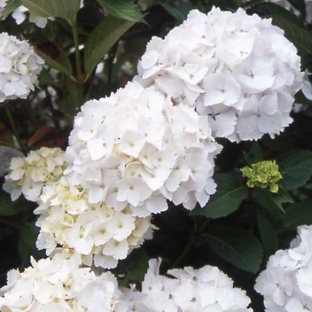 Hydrangea macrophylla mme_emile_mouillere_1