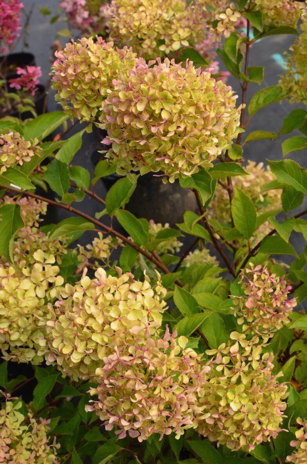 Hydrangea-paniculata-Romantic-Ace-