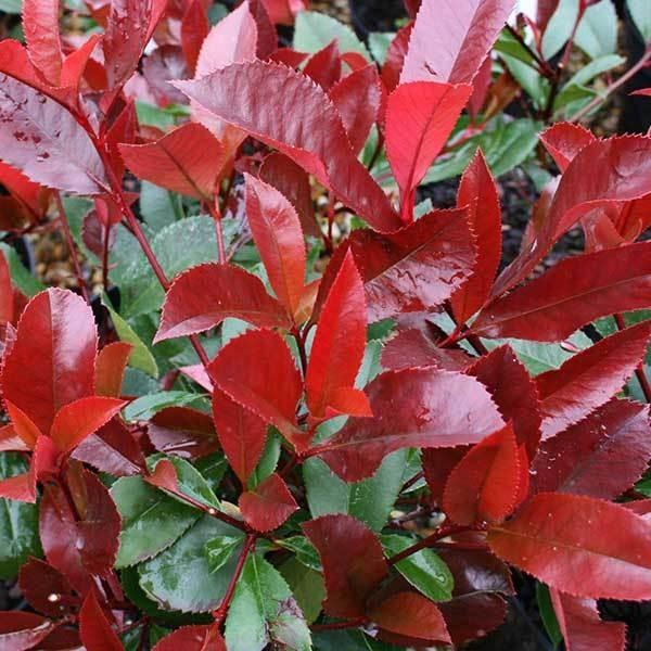 Photinia-Little-Red-Robin