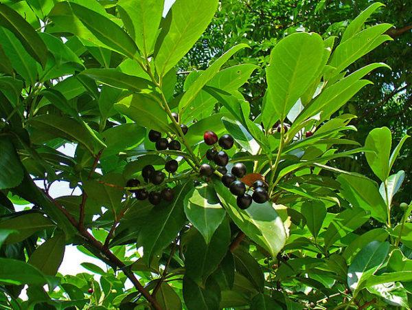 Prunus laur. rotundifolia
