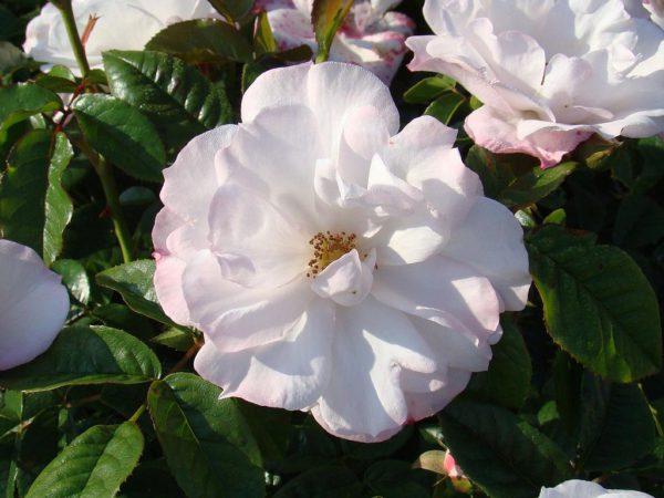 Rosa Pear Drift