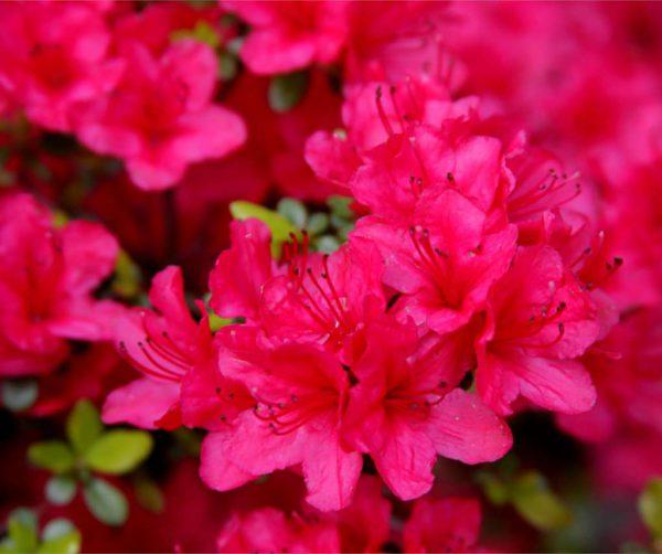 azalea-japonica