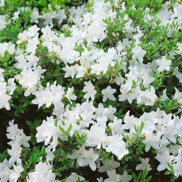 azalea-japonica-adonis
