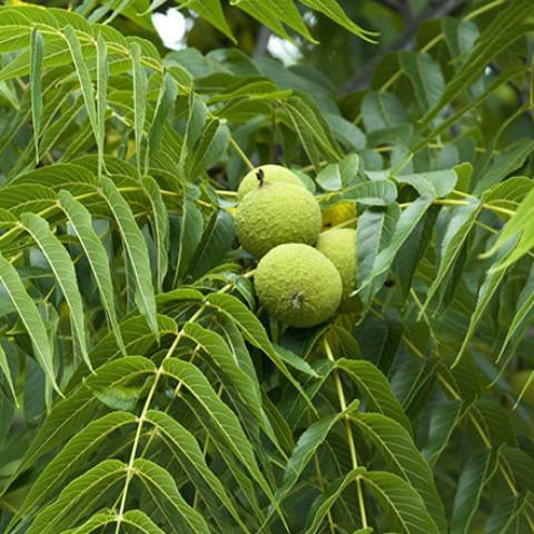 black_walnut_large