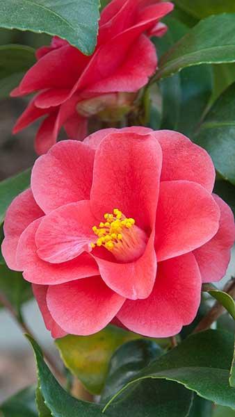 camellia mary-williams