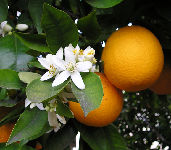 citrus sinensis : orange tree
