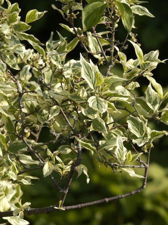 cornus-mas-variegata