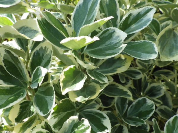 euonymus-japonicus-president-gauthier