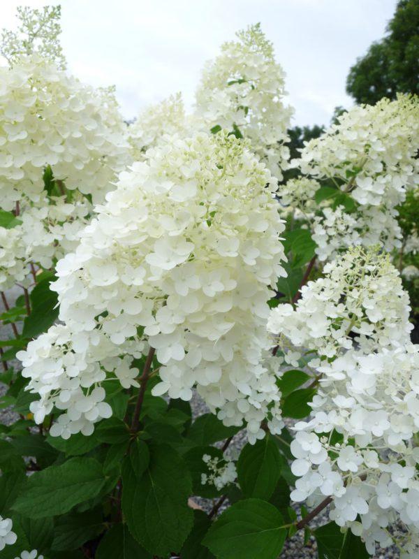 hydrangea-paniculata-sylver-dollar