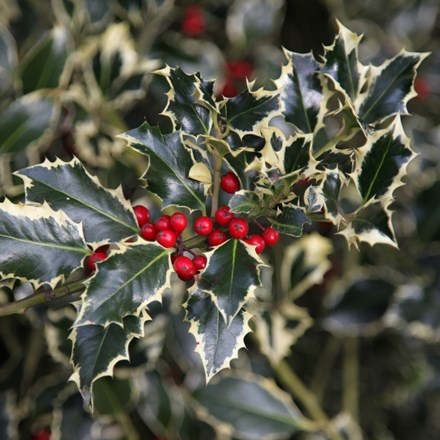 ilex aquafolium argentea marginata