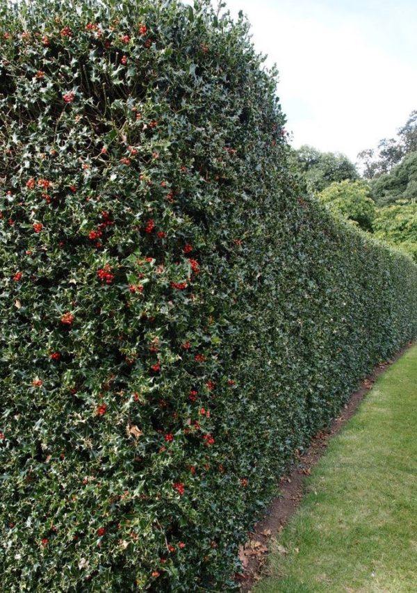 ilex nellie stevens hedge