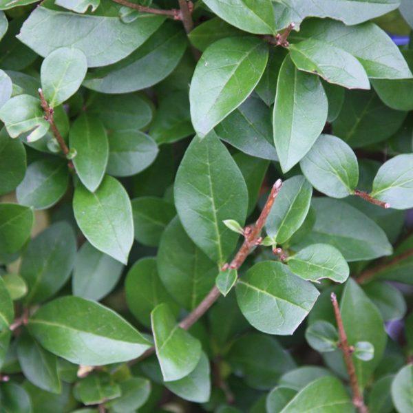 ligustrum ovafolium