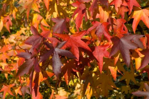 Liquidambar Foliage in autumn