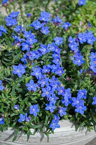 lithodora heavenly blue
