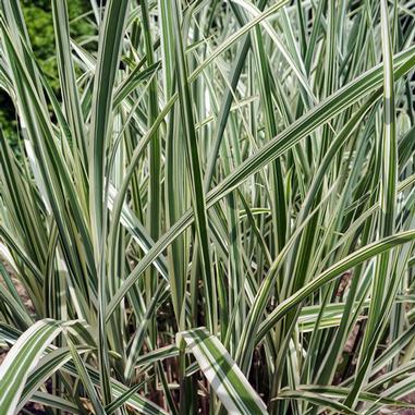 miscanthus variegatus