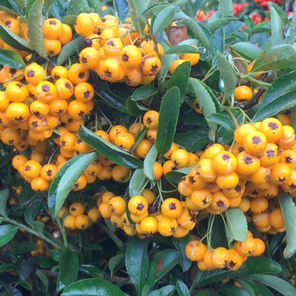 pyracantha saphyr jaune cadaune