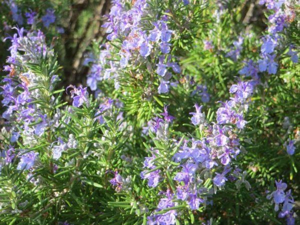 rosmarinus-officinalis-prostratus