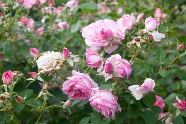 British Rose Gardens – A View of the Mortimer Sackler Rose in full bloom