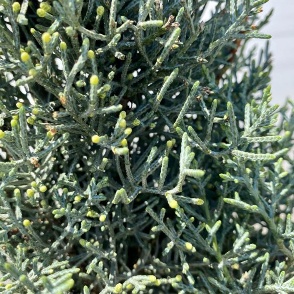 cupressus arizonica fastigiata