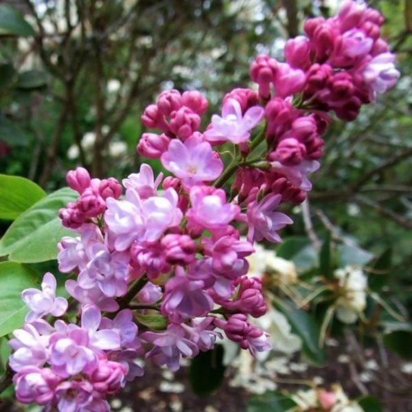 syringa-vulgaris-belle-de-nancy