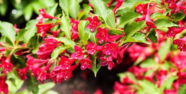 weigela-bristol-ruby