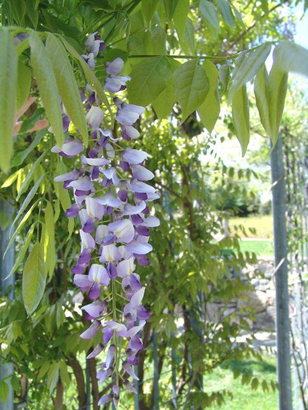 wisteria-floribunda