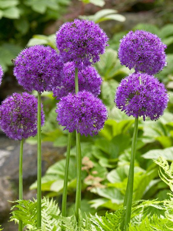 Allium_Purple-Sensation