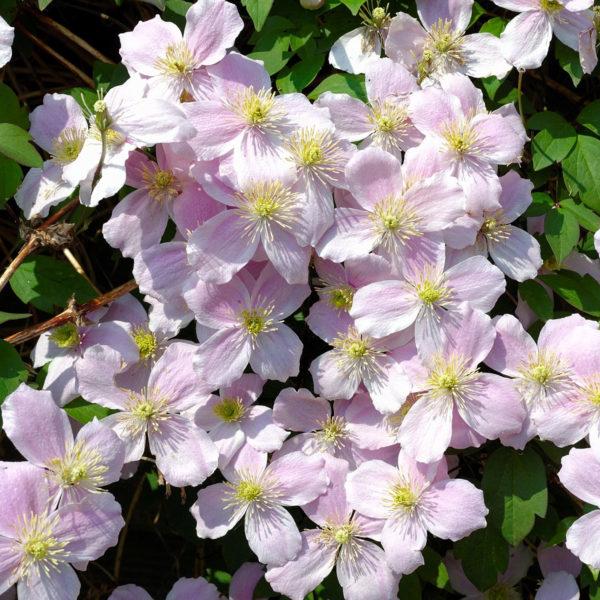 Clematis-Fragrant-Spring