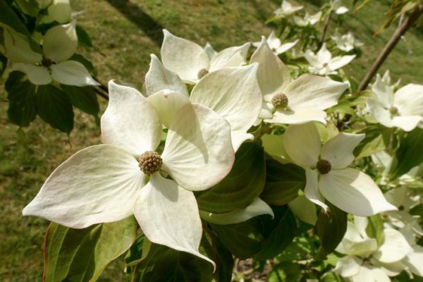Cornus Kousa Teutonia Flowering Dogwood -3