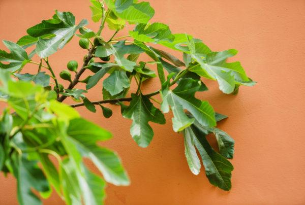 fig tree near wall