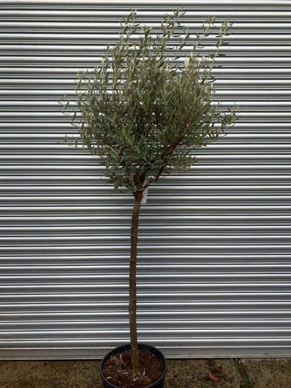 ONC 10 olive