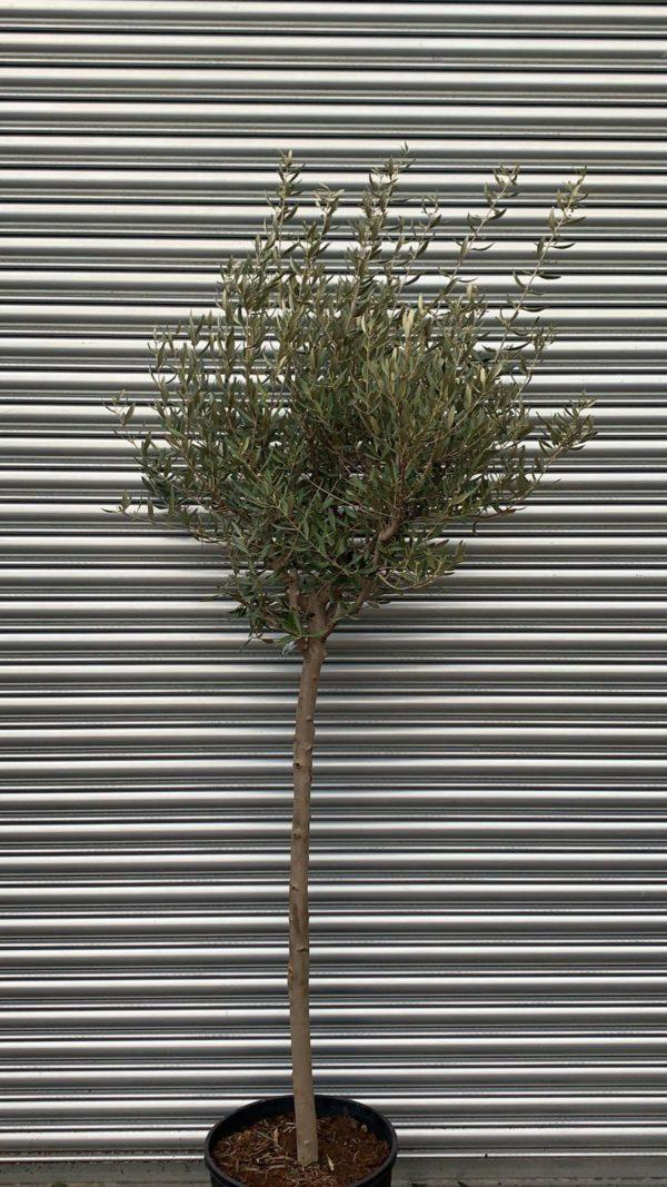 ONC14 Olive