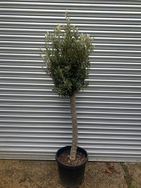 ONC16 Olive