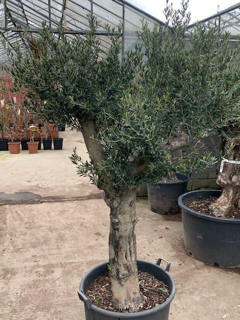 Olive €650