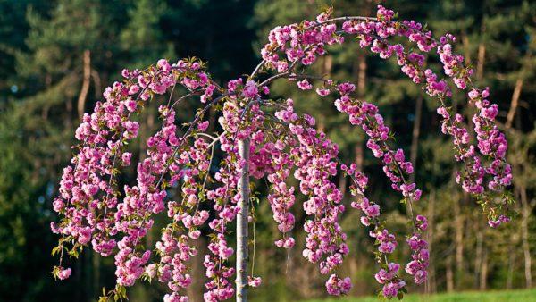Prunus Kiku-shidare-zakura