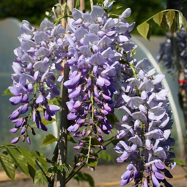 Wisteria-Prolific-Flowers