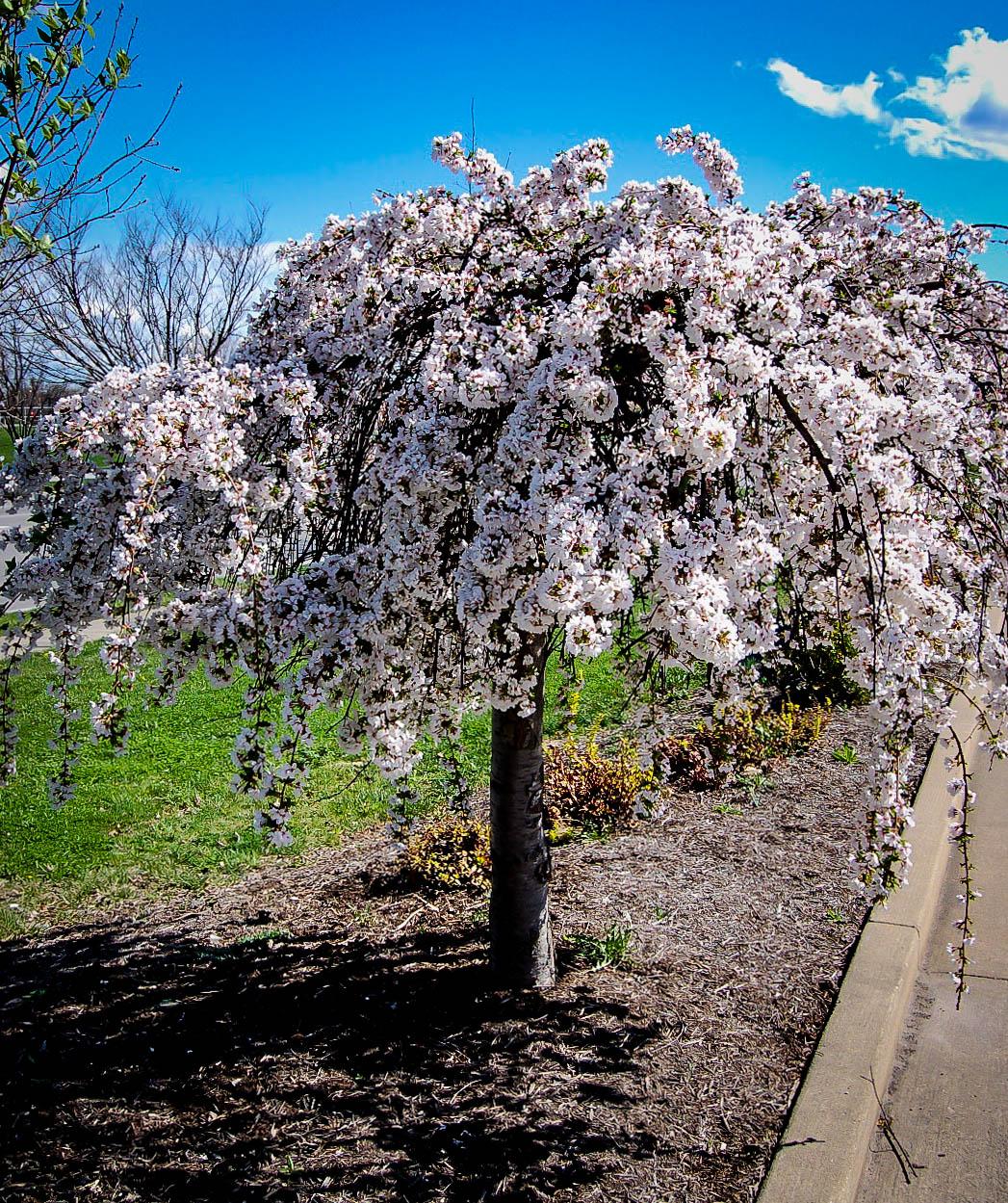 Prunus Snow Fountain Caragh Nurseries