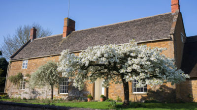 Prunus Tai-Haku. Great White Cherry tree in blossom in front of a stone house in Adderbury, Oxfordshire, England