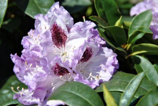 rhododendron-blue-peter