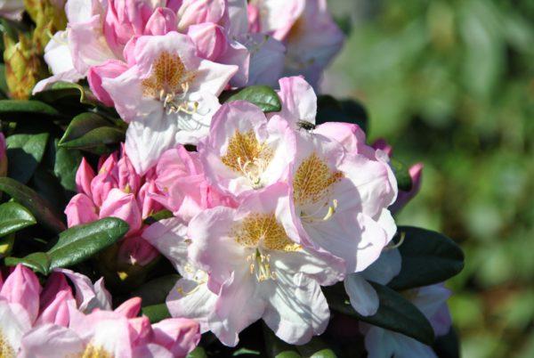 rhododendron-brigitte