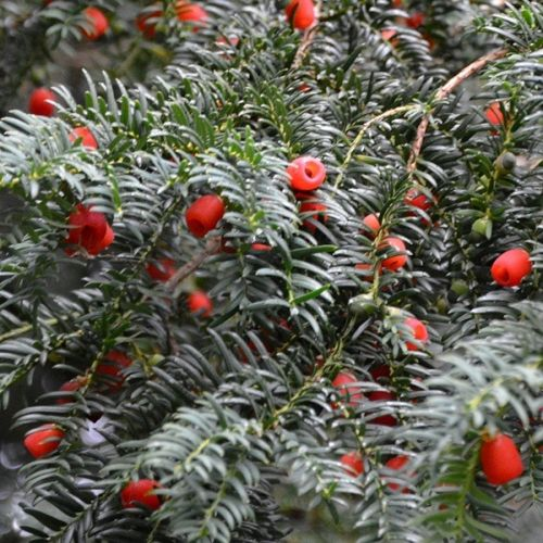 taxus baccata : yew
