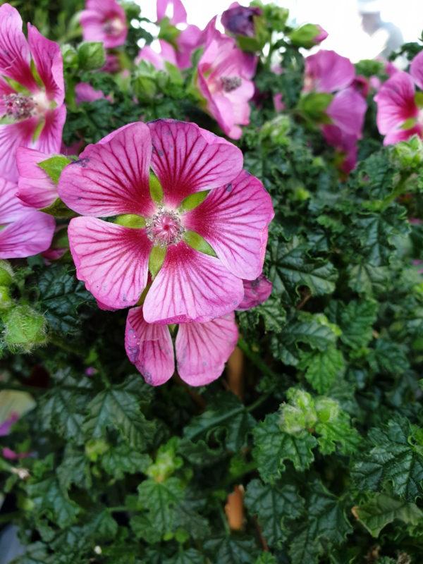 Blossom of a purple Scheinmalve – Anisodontea