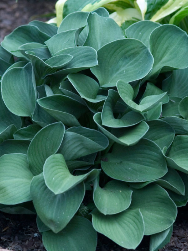 Hosta_Blue-Mouse-Ears