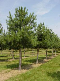 Pinus-nigra-Austriaca