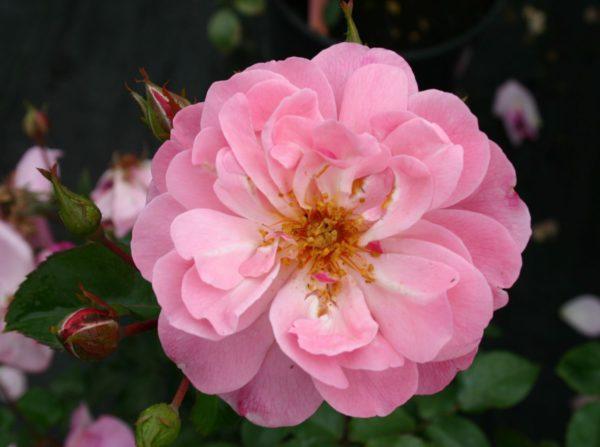 Beetrose 'Märchenland' – Rosa 'Märchenland'
