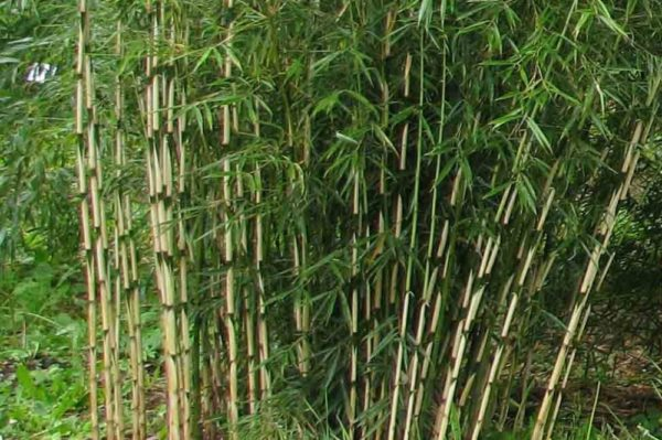 bamboo-robusta-formidable