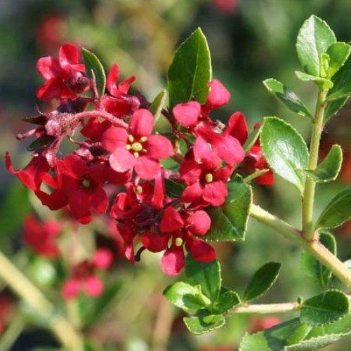 escallonia-red-dream